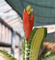 Flower of Aechmea chantinii 'Samurai'