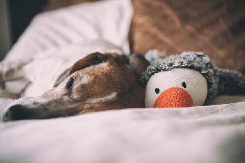 Farewell to my best buddy, my shadow, Jasmine the Beagle