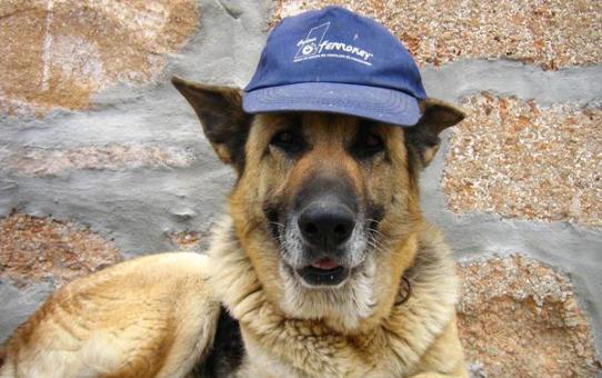 German shepherd dog with baseball cap