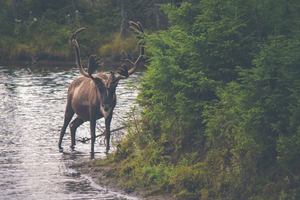 moose safari in Gold of Lapland, Sweden