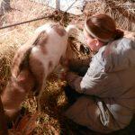 Milking the goat, Bobryk, Ukraine