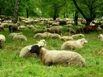 Sheep in Black Forest, Freiburg, Germany