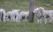 The lambs being mischievous