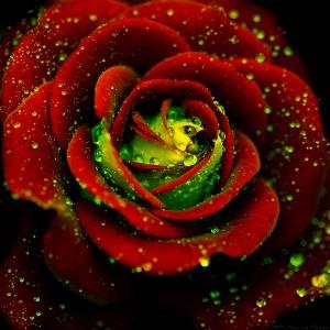Rose-flowers-