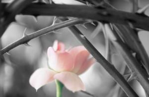 pink rose among thorns
