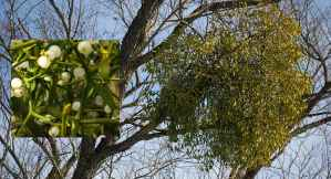 Mistletoe growing on the branch of a tree - The Irish Place