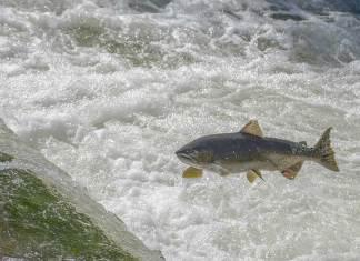 Salmon of Knowledge