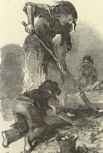 Digging for potatoes during the famine.