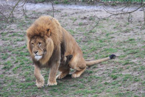 Mr Sad Lion