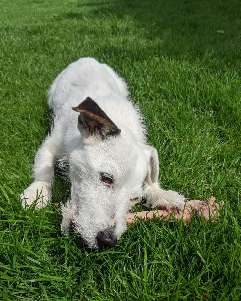 Read more about the article What is the best food for Jack Russell Terriers UK