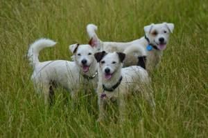 How to stop a Jack Russell barking – What is your dog actually saying?