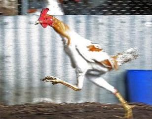 Look! A quick chicken. Get it?