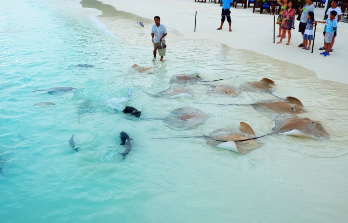 Stingray feeding at Jumeirah Vittaveli