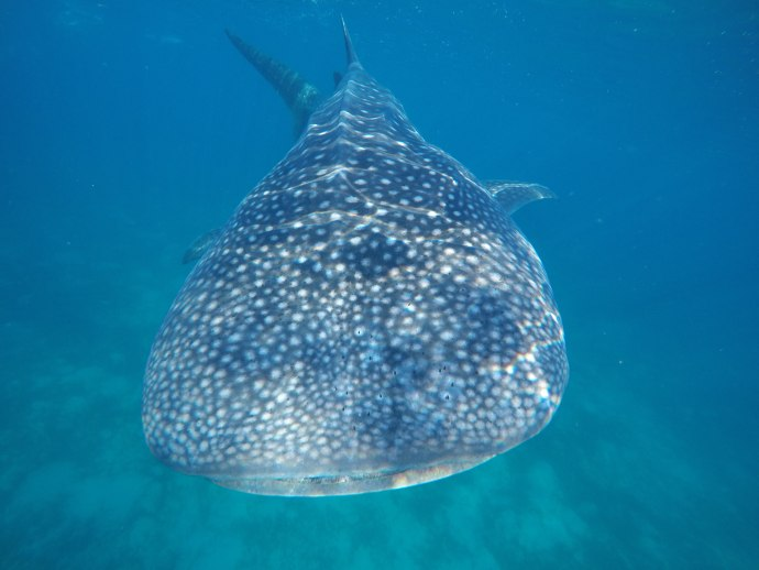 Swimming with Whale Sharks in Cebu