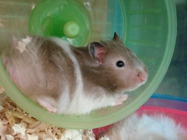 hamster in wheel photo