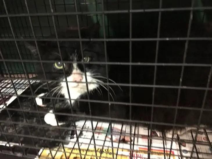 Brutus, a tuxedo cat, in a humane live trap