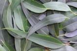 Natural First Aid Kit, part 2: Eucalyptus