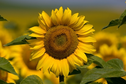 Sunflower. A Friendly attitude towards your emotions