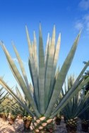 Agave Inulin to treat Gastritis, Colitis, Constipation, High Cholesterol, Weight loss, etc.