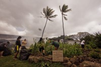 Students were hard at work Tuesday preparing for Wednesday Ho'olaulea in the HCC taro garden