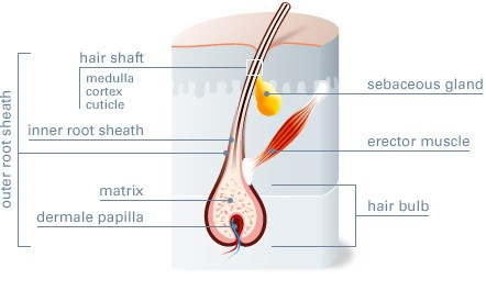Structure of Hair- Graphic Cross-section