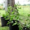 Blackberry-Plant