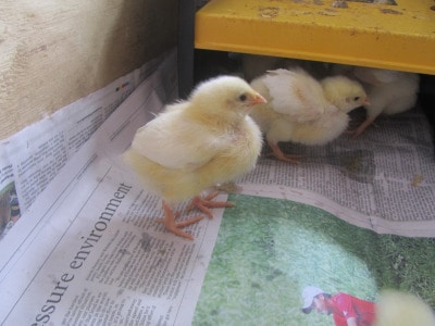 Raising Meat Chicks – Week 1
