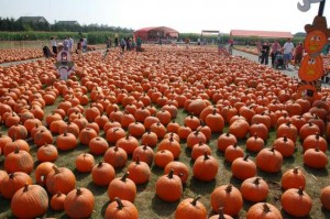Pumpkin Picking at White Post Farms