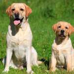 How To Train Your Lab To Sit The Labrador Site