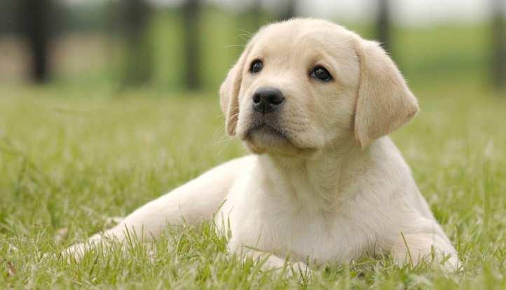 Image result for labrador puppy