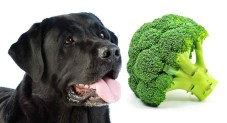 Can Dogs Eat Broccoli - Is It Okay To Share This Veg With Your Dog?