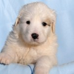 Pyrador Your Guide To The Great Pyrenees Labrador Mix