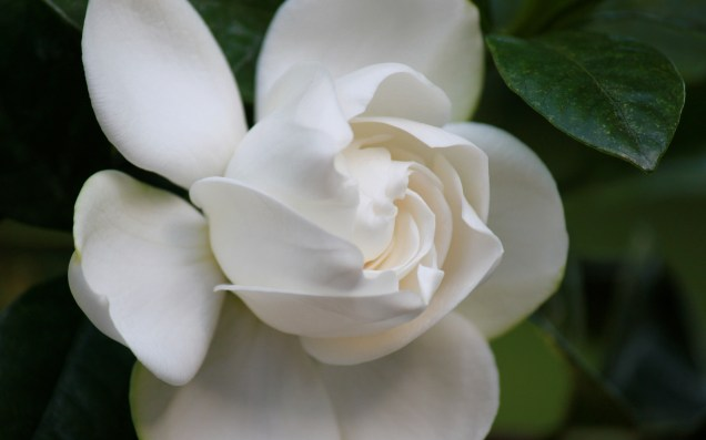 IMG_0237 Gardenia flower, Photo by Rockwell Art & Design, Glen Arbor, MI