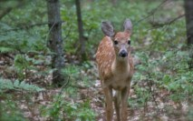 young deer with spots in the forest | www.thelandrovers.com