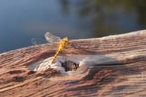 Dragon fly, Carp River, Mi