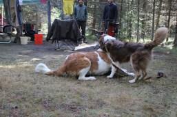 IMG_1846 Bowman Lake, Glacier National Park, MT camping, dogs playing