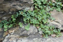 IMG_2009 lucky four leaf clover at Vermilion Falls - Montana