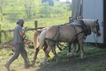 IMG_1222 Jackson working team of Haflinger horses