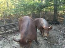 pastured pork_acorns_woods_Jackson Station Livestock Co-fall