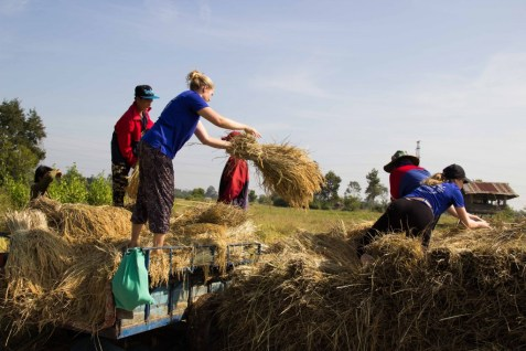 Throwing the rice heads from the trailer onto the pile