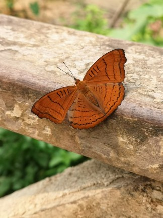 Plain orange butterfly