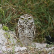 Cooper City Takes Part In Burrowing Owl Release