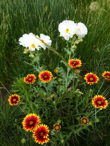 poppies and daisy