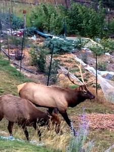 elk by the garden