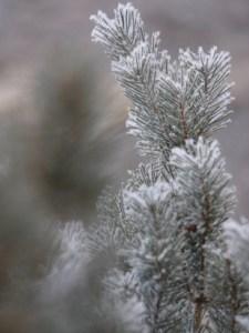 snow covered needles on pine