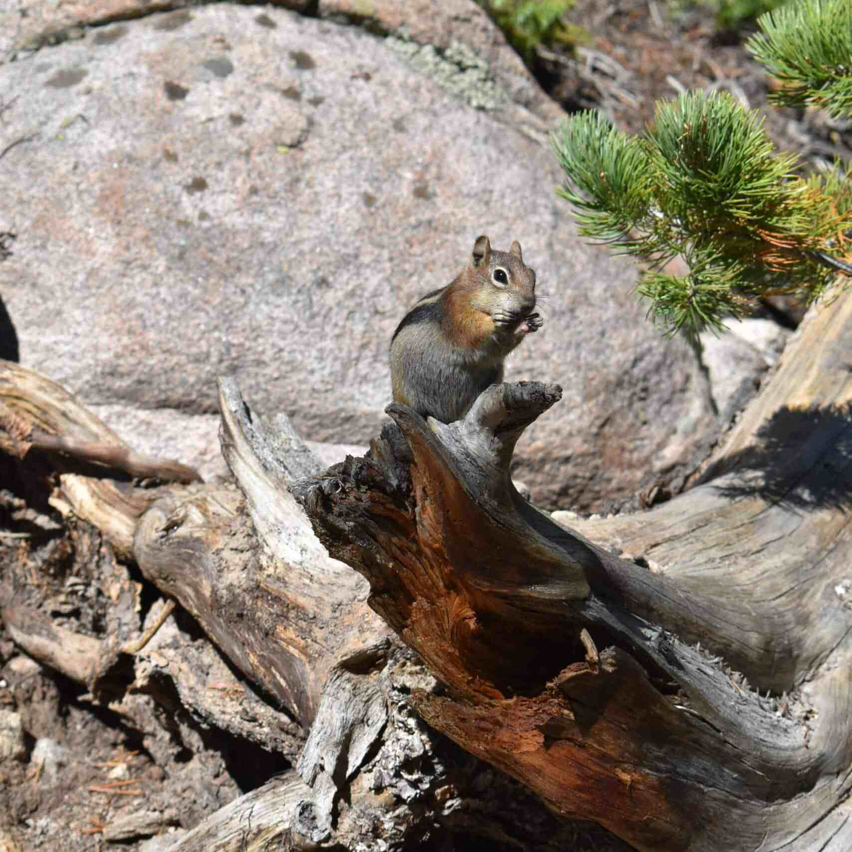 Colorado wild chipmunks