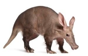 aardvark small