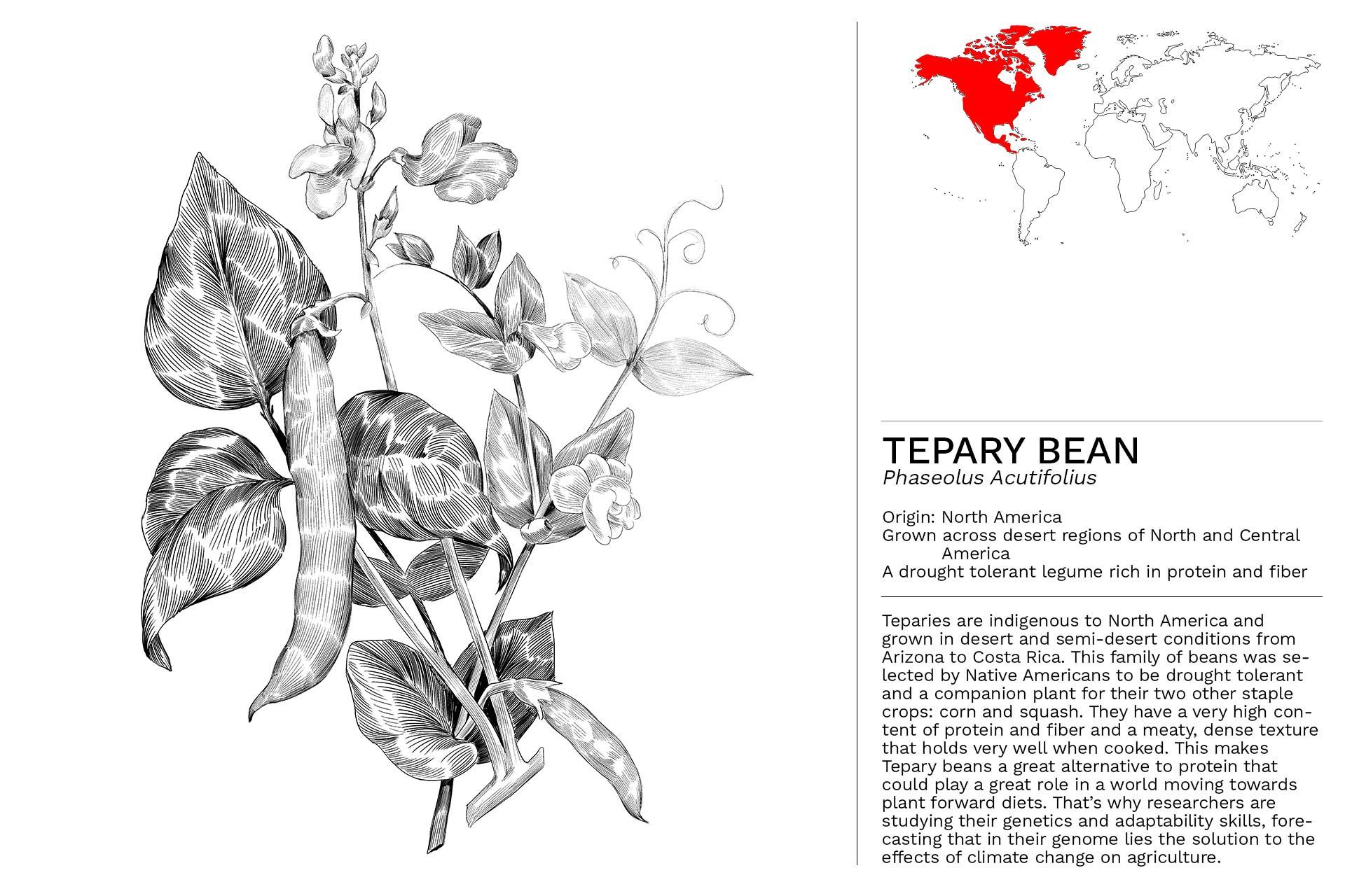 TEPARY-BEAN_Slideshow