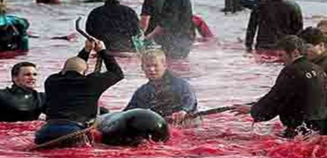 Thousands of dolphin are being killed everyday for meat.[1]