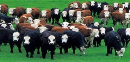 herd-of-cows[1]